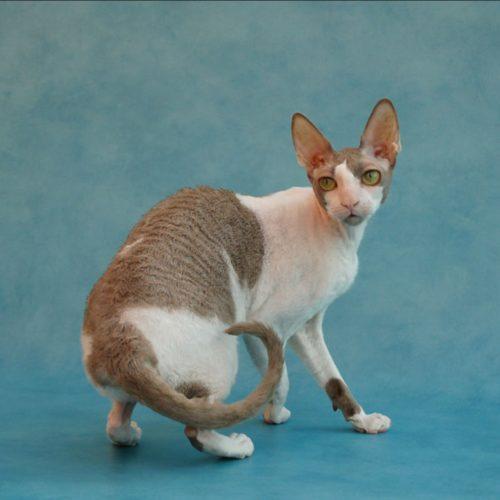 cats-cybelia