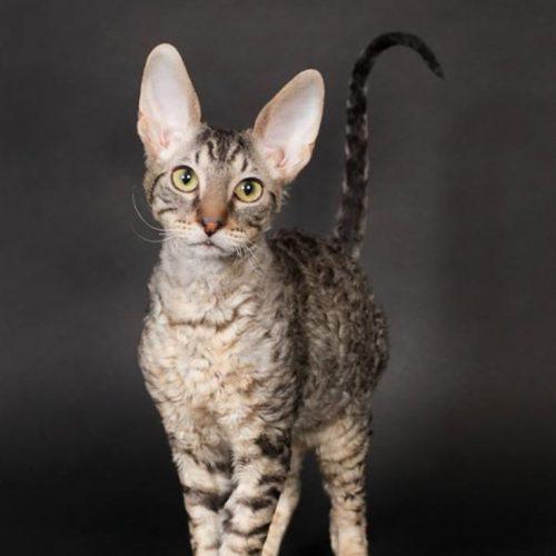 cats-jamuz